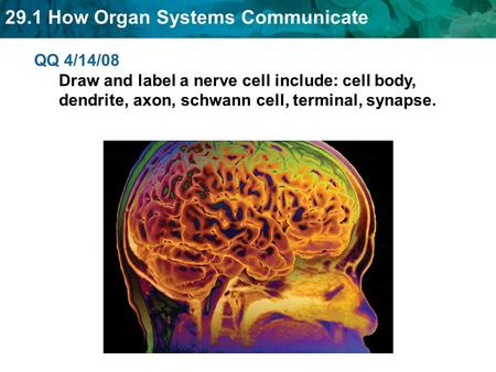 29.1 How Organ Systems Communicate QQ 4/14/08 Draw and label a nerve cell include: cell body, dendrite, axon, schwann cell, terminal, synapse.