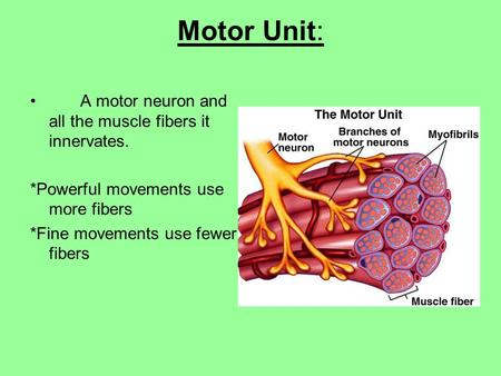 Motor Unit: A motor neuron and all the muscle fibers it innervates. *Powerful movements use more fibers *Fine movements use fewer fibers.