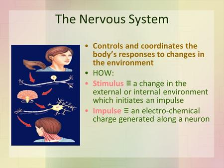 The Nervous System Controls and coordinates the body's responses to changes in the environment HOW: Stimulus ≡ a change in the external or internal environment.