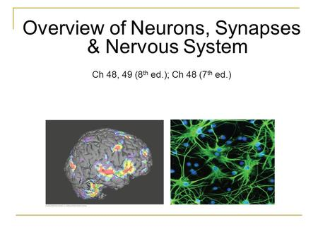 Overview of Neurons, Synapses & Nervous System Ch 48, 49 (8 th ed.); Ch 48 (7 th ed.)