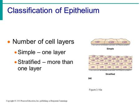 Classification of Epithelium Copyright © 2003 Pearson Education, Inc. publishing as Benjamin Cummings  Number of cell layers  Simple – one layer  Stratified.