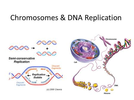 Chromosomes & DNA Replication. I. DNA & Chromosomes A. DNA is found in different ways depending on the type of cell you are looking at – 1. In prokaryotic.