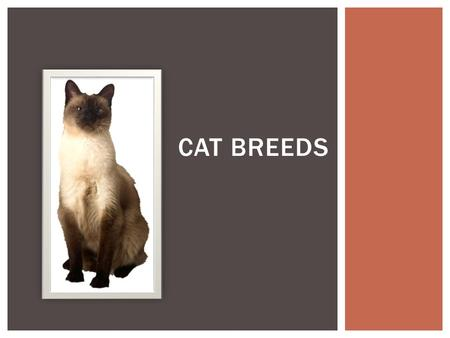 CAT BREEDS. SHORTHAIR BREEDS  Came to US with English settlers  34 recognized color patterns  tabby is the most common color  Medium to large sized.