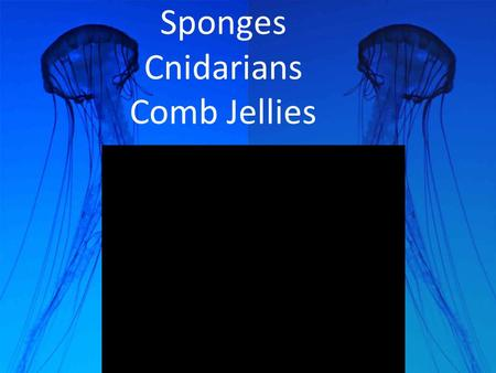 Sponges Cnidarians Comb Jellies. Jelly Fish and sponges are animals? Sponges were thought to be plants because they do not move (sessile) Jellyfish were.