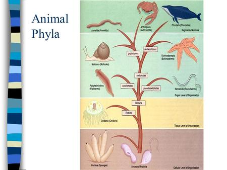 Animal Phyla.