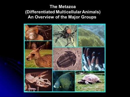 The Metazoa (Differentiated Multicellular Animals) An Overview of the Major Groups.