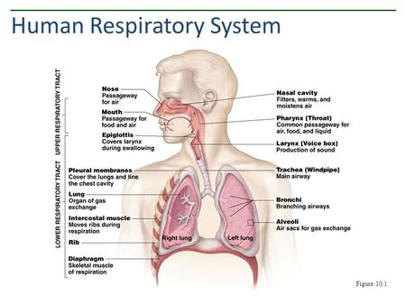 Human Respiratory System Figure 10.1. Components of the Upper Respiratory Tract Figure 10.2.