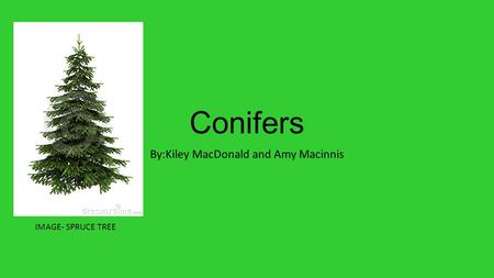 Conifers By:Kiley MacDonald and Amy Macinnis IMAGE- SPRUCE TREE.