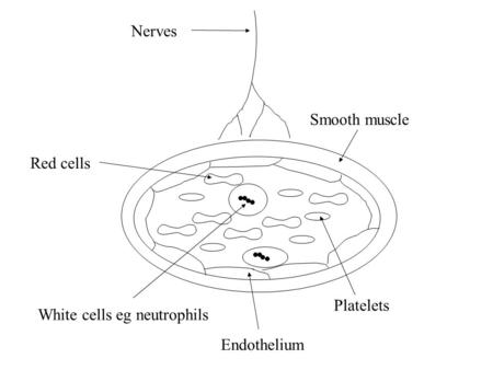 Nerves Smooth muscle Endothelium Platelets White cells eg neutrophils Red cells.