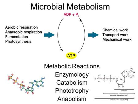 Metabolic Reactions Enzymology Catabolism Phototrophy Anabolism Microbial Metabolism.