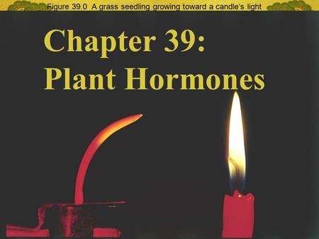 Figure 39.0 A grass seedling growing toward a candle's light Chapter 39: Plant Hormones.