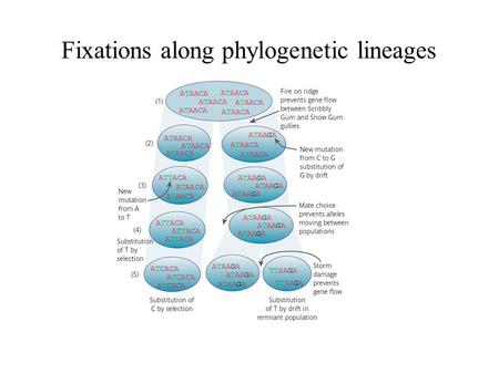 Fixations along phylogenetic lineages. Phylogenetic reconstruction: a simplification of the evolutionary process.