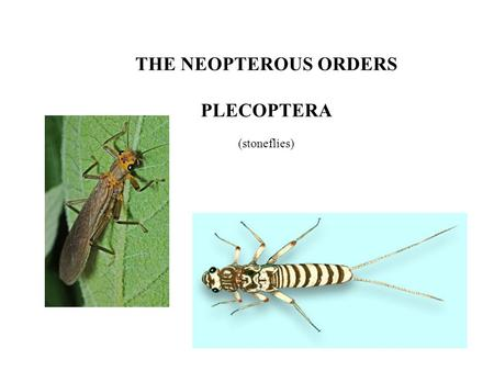 THE NEOPTEROUS ORDERS PLECOPTERA (stoneflies). From the phylogenetic tree: Endopterygota = Coleopteroids + Strepsiptera + Lepidopteroids + Dipteroids.