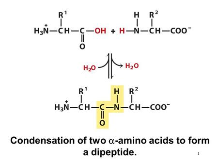 Condensation of two  -amino acids to form a dipeptide. 1.