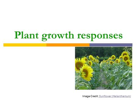 Plant growth responses Image Credit: Sunflower (Helianthemum) Sunflower (Helianthemum)