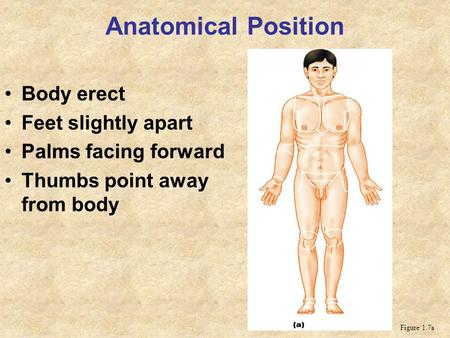 Anatomical Position Body erect Feet slightly apart Palms facing forward Thumbs point away from body Figure 1.7a.