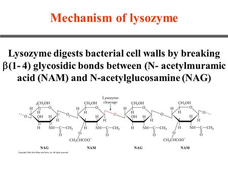 Mechanism of lysozyme Lysozyme digests bacterial cell walls by breaking  (1- 4) glycosidic bonds between (N- acetylmuramic acid (NAM) and N-acetylglucosamine.