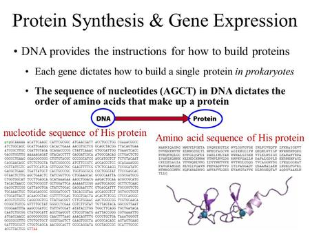 Amino acid sequence of His protein DNA provides the instructions for how to build proteins Each gene dictates how to build a single protein in prokaryotes.