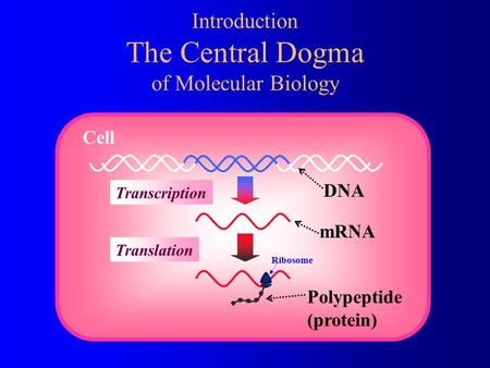 DNA mRNA Transcription Introduction The Central Dogma of Molecular Biology Cell Polypeptide (protein) Translation Ribosome.