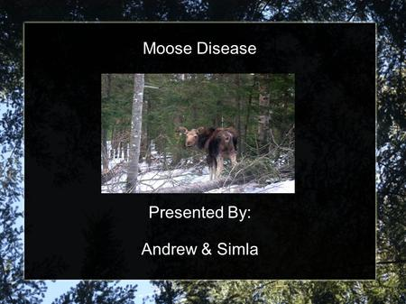 Moose Disease Presented By: Andrew & Simla. Location Moose observed at Elk Island National Park 40 km east of Edmonton in central Alberta, Canada Population.