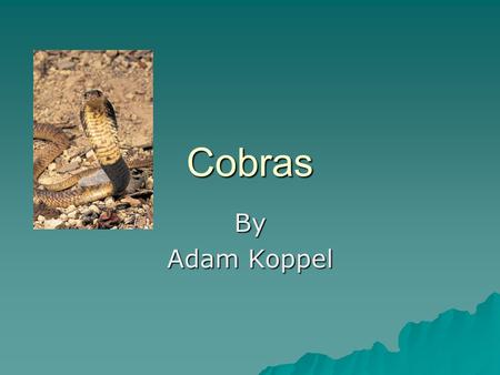 Cobras By Adam Koppel. Introduction Cobra! Cobra! Cobra! Aren't Cobras awesome? You are going to learn some totally awesome facts about a cobra! I'll.