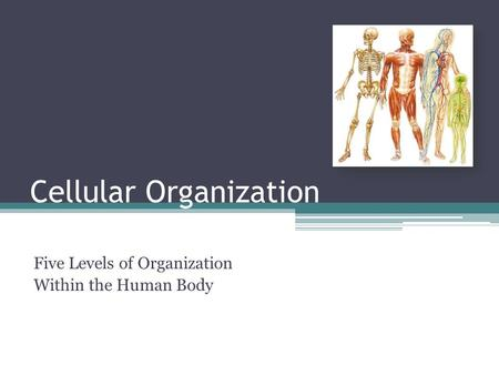 Cellular Organization Five Levels of Organization Within the Human Body.