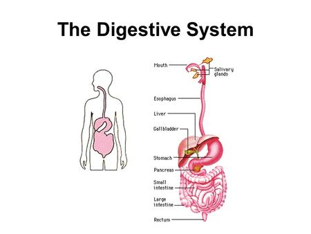 The Digestive System. Digestive System Overview Known as gastrointestinal (GI) tract or alimentary canal. Open at both ends to the outside world. Consists.