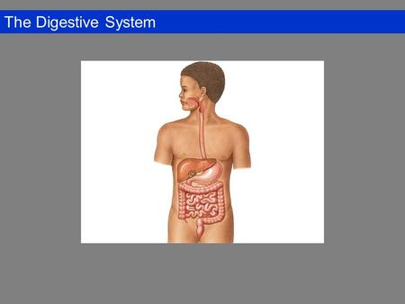 The Digestive System. Overview of the Digestive System Digestive Tract: Mouth, pharynx, and esophagus, stomach, small intestine, and large intestine (colon)