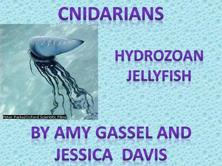Cnidarians are incredibly diverse in form. Yet, these diverse animals are all armed with stinging cells called nematocysts. Thousands of cnidarian species.