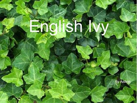 English Ivy By Aislinn.
