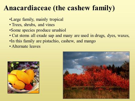 Anacardiaceae (the cashew family) Large family, mainly tropical Trees, shrubs, and vines Some species produce urushiol Cut stems all exude sap and many.