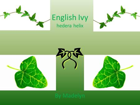 English Ivy hedera helix By Madelyn. What is English Ivy? An invasive species There are four types It's from Europe It is evergreen It is in woodlands.