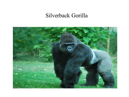 Silverback Gorilla. Family, Genus, and Species The family of the Silverback is Hominidae. The genus is Gorilla. The Species is Gorilla.