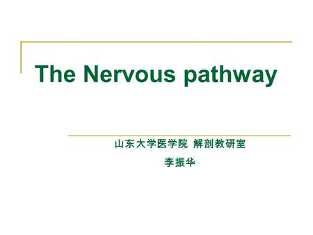 The Nervous pathway 山东大学医学院 解剖教研室 李振华. Conscious proprioceptive and fine touch pathway of trunk and limbs Spinal ganglion 1°neuron Fasciculus gracilis.
