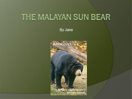 The Malayan Sun Bear By Jane.