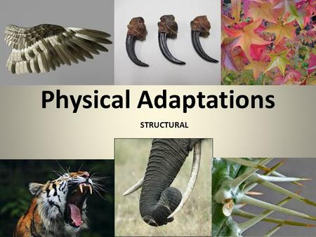 Physical Adaptations STRUCTURAL. CASE STUDY: Polar Bear AdaptationFunction (how does it help the animal?) Long, stiff hair between pads of bear's feet.