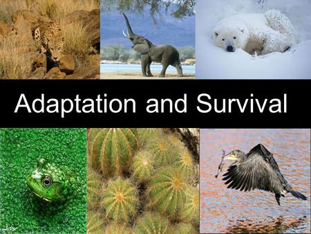 Adaptation and Survival. Do you think a polar bear could survive in a desert? No. Polar bears have fur coats and swim in water, but deserts are dry.