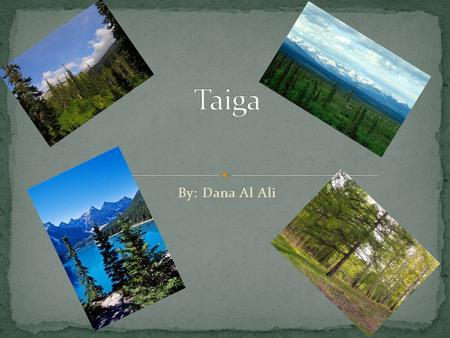 By: Dana Al Ali. The Taiga is the largest terrestrial Biome on the planet. What is it made up of? A Taiga is a forest made up of different kind of trees,