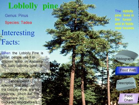 Loblolly pine Genus: Pinus Species: Tadea When the Loblolly Pine is small, people use it in chicken soup. In Alabama, the baby Loblolly pine is used in.
