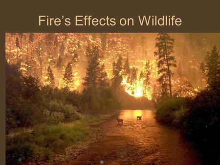 Fire's Effects on Wildlife. Direct Effects Few studies, marked re-capture approach ideal –Body size and mobility, i.e. burrowing, influence direct mortality.
