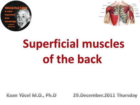 MUSCLES OF THE BACK Extrinsic back muscles  Superficial group consists of muscles related to and involved in movements of the upper limb.  Intermediate.