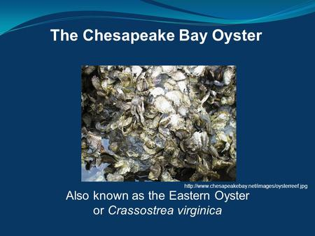 The Chesapeake Bay Oyster Also known as the Eastern Oyster or Crassostrea virginica