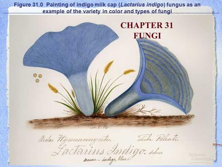 Figure 31.0 Painting of indigo milk cap (Lactarius indigo) fungus as an example of the variety in color and types of fungi CHAPTER 31 FUNGI.