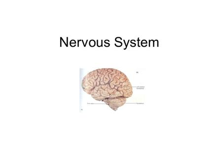 Nervous System. Nervous system The organs of the nervous system form two subsystems –The brain and the spinal cord make-up the central nervous system.