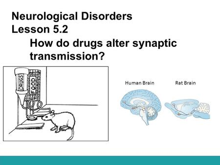 Neurological Disorders Lesson 5.2 How do drugs alter synaptic transmission? Human Brain Rat Brain.