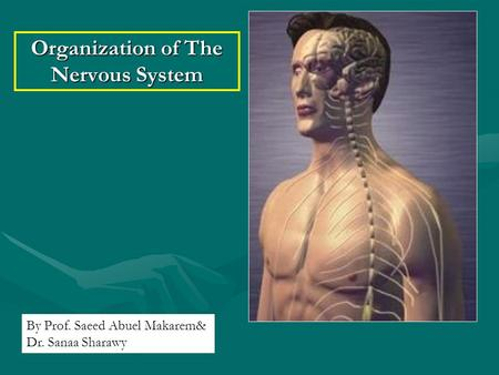 Organization of The Nervous System By Prof. Saeed Abuel Makarem& Dr. Sanaa Sharawy.