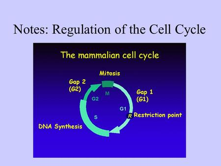 Notes: Regulation of the Cell Cycle. The cell cycle is regulated by a molecular control system ● The frequency of cell division varies with the type of.