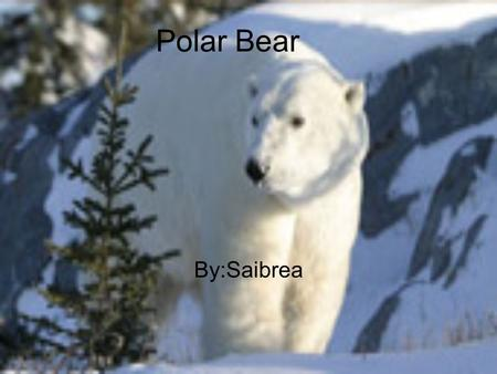 Polar Bear By:Saibrea. Description The polar bear is the Antarctic largest land animal. Polar bears are excellent swimmers and divers. They can swim for.