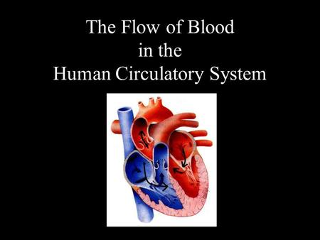 The Flow of Blood in the Human Circulatory System.