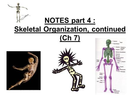 NOTES part 4 : Skeletal Organization, continued (Ch 7)